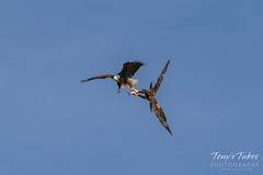 Bald Eagles battle for breakfast - Sequence - 14 of 42