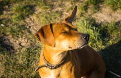 SunnyWindyFunnyFrida ;-) (neerod81) Tags: dog funny windy sunny frida hund sonnig rhein spaziergang windig