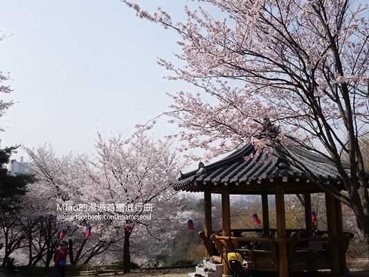 안산공원벚꽃14
