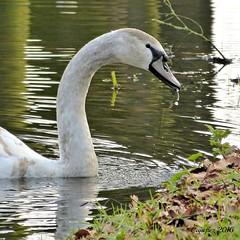 Youngh swan - Jonge zwaan (Cajaflez) Tags: water swan ngc elegant waterdrops vogel jong zwaan waterdruppel watervogel youngh