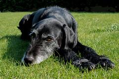 Puppy (thomas druyen) Tags: dog animal puppy 50mm nikon outdoor hund gras grn augen haustier schwarz tier mischling pfoten festbrennweite