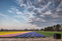 Hyacints at Lisse (paxalgra) Tags: pink flowers sunset holland church netherlands colors lines yellow spring flora colours purple bulbs leading hyacint lisse