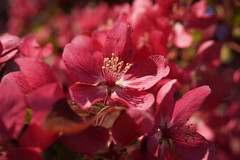Blossom Closeup (Twang Your Head) Tags: tree spring perfume blooms scent