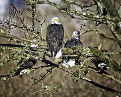 Communal Tree....... (Hawg Wild Photography) Tags: bird nature birds nikon eagle wildlife baldeagle raptor prey eagles raptors americanbaldeagle d810 of terrygreen nikon600mmvr