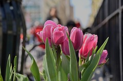 sunbathed pink tulips (norlandcruz74) Tags: park lighting new york city nyc pink flowers usa sunlight ny colors america square point us spring flora nikon focus view tulips natural image bokeh pov manhattan union perspective images cruz april filipino framing viewpoint pilipino pinoy dx filam 2016 norland d5100