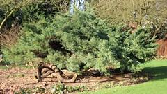 Juniperus x media Pfitzeriana Glauca - Arboretum Kalmthout (stephenmid) Tags: belgium kalmthout