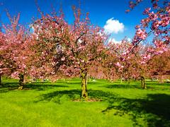 Cherry Blossoms (Calimages) Tags: japan antony sceaux parcdesceaux