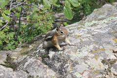 IMG_2300 (A dork with a camera) Tags: nature animals colorado wildlife rockymountains rockymountainnationalpark goldenmantledgroundsquirrel