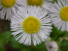 (nofrills) Tags: flowers plants white plant flower macro green floral yellow weeds weed flora whiteflowers fleabane erigeronphiladelphicus commonfleabane ハルジオン