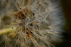 ****** (vieubab) Tags: macro nature fleur lumire extrieur grosplan gouttes gouttedeau matire luminosit