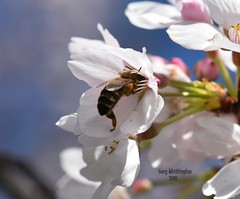 Bee & Ornamental Cherry Blossom_4875 (Porch Dog) Tags: spring bokeh kentucky blossoms athome blooms fx 2016 intheyard bokehlicious garywhittington nikond750