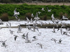 Titchfield Haven, Hampshire 230416 (083) (Photos-Tony Wright) Tags: uk haven black bird nature birds wildlife gulls reserve hampshire april headed 2016 titchfield