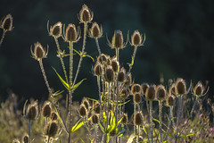 Back-lit teasels (Rich3012) Tags: uk flowers wild summer england hampshire backlighting teasels hants