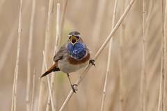 Singing at the top of his voice! Male Bluethroat (Luscinia svecica) Blauwborst (Ron Winkler nature) Tags: bird netherlands animal canon europe ngc birding nederland birdwatching vogel songbird birdwatcher bluethroat lusciniasvecica luscinia svecica blauwborst 100400ii