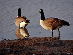 Bernaches - Geese (Jacques Trempe 2,400K hits - Merci-Thanks) Tags: canada bird river geese quebec stlawrence stlaurent oiseau fleuve oie caprouge