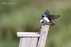 Love is universal. Tree swallow displays (liqingxu100) Tags: smallbirds