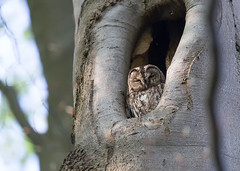 Tawny owl (Strix aluco) (Marcus Antonius Braun) Tags: sleeping brown tree sitting owl birdofprey tawnyowl strixaluco