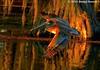 Brown Pelican - Lake Martin, Louisiana (Image Hunter 1) Tags: reflection tree nature water flying moss wings louisiana bravo flight feathers pelican swamp spanishmoss wingspan brownpelican cypresstree natureconservancy lakemartin wingspread cypressislandpreserve canoneos7dmkii