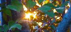 Plum Tree 20140715 (caligula1995) Tags: sun plumtree 2014