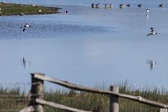 Avocet (29) (Mal.Durbin Photography) Tags: nature birds newport naturereserve newportwetlands maldurbin goldcliffnewport