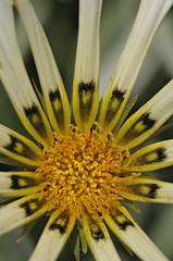 160417 In the garden _DEB0085 copy (debunix) Tags: macro yellow whoami blossombloomflower