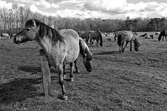 Wild Horses in black-and-white - Herd - 2016-023_Web (berni.radke) Tags: horse pony herd nordrheinwestfalen colt wildhorses foal fohlen croy herde dlmen feralhorses wildpferdebahn merfelderbruch merfeld przewalskipferd wildpferde dlmenerwildpferd equusferus dlmenerpferd dlmenpony herzogvoncroy wildhorsetrack