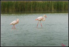 DSC_7592 (torben84) Tags: lake bird birds lago nikon rosa uccelli firenze tamron phoenicopterusroseus avifauna laje aereoporto fenicotteri phoenicopterus roseus fenicottero migrazione peretola 150600 d7200