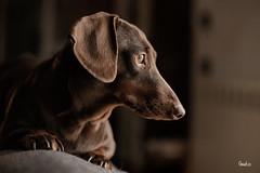 0274 (mrcphoto.it) Tags: light dog cute love beautiful canon pose puppy eyes natural chocolate dachshund stunning looks shooting portfolio dogportrait bassotto browndachshund