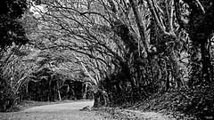Y si no estas? (Blas Torillo) Tags: road trees bw naturaleza byn blancoynegro nature mxico mexico blackwhite nikon rboles camino streetphotography puebla professionalphotography fotografaenlacalle fotografaprofesional mexicanphotographers d5200 fotgrafosmexicanos hueytamalco nikond5200