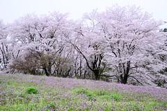 Pink Harmony (H.H. Mahal Alysheba) Tags: flower tree nature japan cherry nikon cherryblossom sakura nikkor afs d800 2485mmf3545