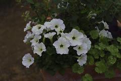 _DSC2082 (Osamu1965) Tags: flower japan zeiss garden spring sony contax jp   okayama     a7m2  carlzeissvariosonnart2870mmf3545mm