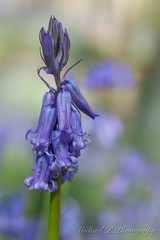 wilde hyacint of boshyacint - bluebell (Michael P Photograpy - wildlifemc) Tags: macro nature flora naturallight extensiontube highspeedphotography