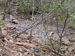 Roll out the blue carpet (tessab101) Tags: blue mountains bird bottle nest caps reserve australia nsw pegs bower sassafras gully