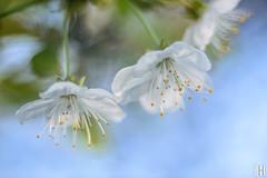sweet fragrance (gregor H) Tags: feldkirch sterreich vorarlberg at
