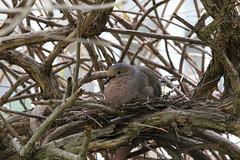 Nesting mourning dove (@harryshuldman) Tags: nature rain canon eos branch mourning nest bokeh mark pigeon dove feather sigma telephoto ii 7d twig telefoto 150500mm 7dmarkii