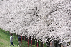 Row of cherry blossom trees (Will Design Works) Tags: japan touring mortorcycle