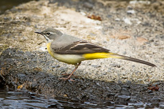 Grey wagtail (Shane Jones) Tags: bird nikon wagtail greywagtail 200400vr d7200