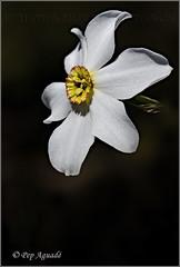 Narcisus poeticus - 2016 (Pep Aguad) Tags: macro flora nikon natura baixcamp bosc macrofotografia muntanyesdeprades satalia grandalla narcisuspoeticus provtarragona pepaguad narcsdelspoetes