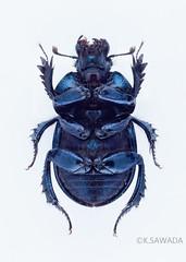 Phelotrupes laevistriatus (kenta_sawada6469) Tags: macro japan insect beetle insects beetles specimen coleoptera dungbeetle geotrupidae scarabaeoidea