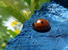 Coccinella septempunctata (bego vega) Tags: madrid macro animal insect beetle ladybird ladybug escarabajo vega bv bego insecto vaquita coleoptera mariquita coccinellidae septempunctata coccinella elpardo coleptero