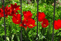 Looking Down (iluvgadgets) Tags: flowers red boston tulips foliage lookingdown 52weeksofphotography giveusyourbestshot 522016week17 leaforflowerbuds