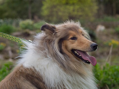 Hello (RS400) Tags: hello uk dog colour cute dogs look animal tongue wow outside amazing cool natural no olympus wicked lead edit ngg