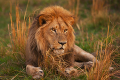 lion (noor.khan.alam) Tags: africa portrait cat lion savannah botswana predator muzzle russianfederation