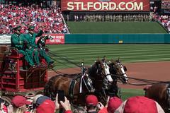 Budweiser Clydesdales (huzzahs) Tags: baseball stlouis missouri budweiser buschstadium openingday cardinals mlb stlouiscardinals homeopener anheuserbusch budweiserclydesdales openingdaystl