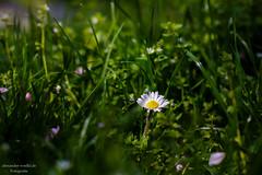 Gnseblmchen (schlawiner1985) Tags: flower spring wiese blume garching frhling gnseblmchen