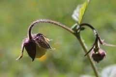 Bach-Nelkenwurz (karlmimbach) Tags: flower natur wiese bach blume blte nelkenwurz