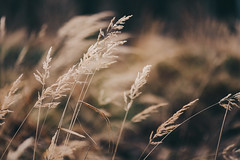 (desomnis) Tags: nature colorful warm soft dof bokeh natur drygrass canon6d vsco canon135mmf20 desomnis