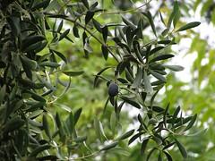 Oliva negra (mariarl_art) Tags: negro rbol cosecha oliva olivo aceituna