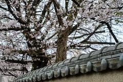 Sakura in Kawagoe (AnotherSaru - Limited mode) Tags: wall spring  cherryblossom  sakura nippon kawagoe  saitamaken 2016  saitamaprefecture kawagoeshi  anothersaru  kevinfrates
