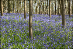 Bluebells In Southwick Woods (image 1 of 4) (Full Moon Images) Tags: plant flower nature bluebells woods wildlife bcn northamptonshire reserve trust wildflower southwick